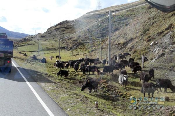 高原蓝天白云及遍地牦牛